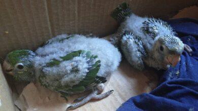 Foto de Polícia Militar Ambiental de Anaurilândia apreende filhotes de ave em uma caixa em loteamento rural de lazer |