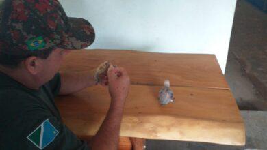 Foto de Polícia Militar Ambiental de Anaurilândia resgata filhotes de maritaca de forro de residência em reforma |