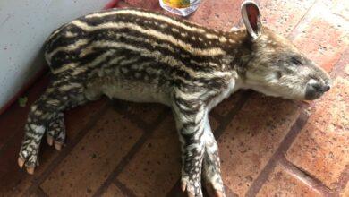Foto de Polícia Militar Ambiental de Campo Grande captura filhote de anta ferido em chácara de Jaraguari |