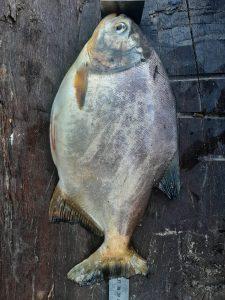 PMA de Campo Grande e Coxim autuam terceiro por pesca predatória na divisa com Mato Grosso e apreendem pescado, barco, motor e petrecho de pesca |