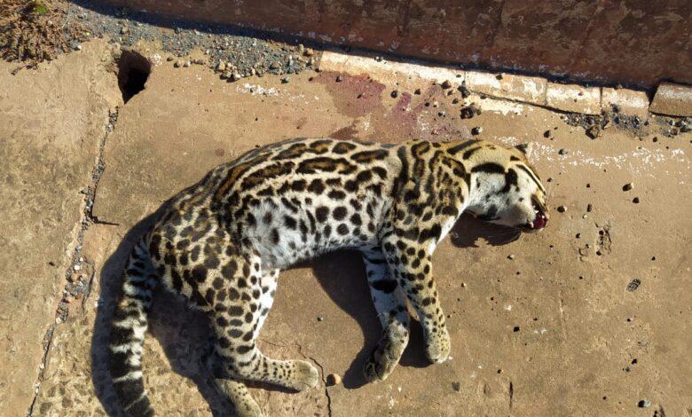 Polícia Militar Ambiental de Bela Vista sai para resgate de Jaguatirica atropelada e quando chega o animal já estava morto |