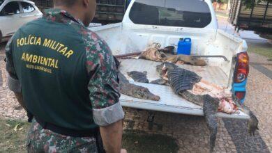 Foto de Polícia Militar Ambiental de Bonito apreende dois jacarés e um javali abatidos em leito de córrego no município |