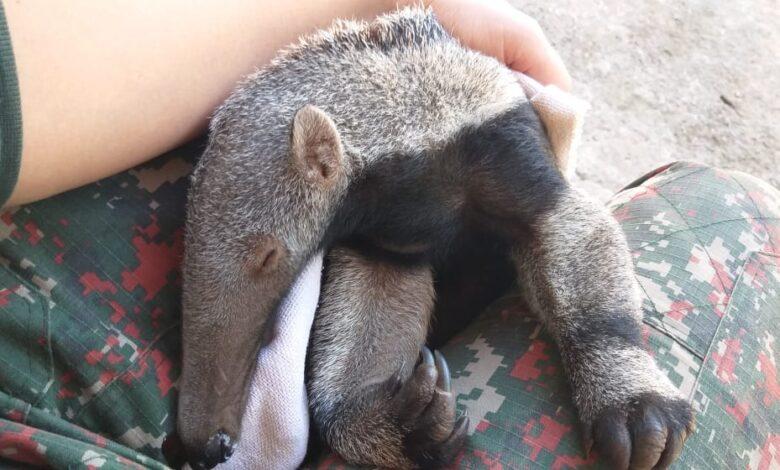 PMA de Coxim resgata filhote de tamanduá-bandeira agarrado ao dorso da mãe que foi morta por atropelamento, segundo caso em um mês no Estado |