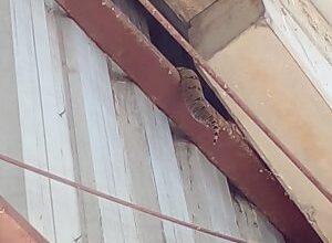 Foto de Polícia Militar Ambiental de Campo Grande captura jiboia sob telhado de barracão da Secretaria Estadual de Saúde |